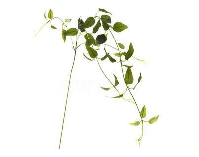 7C48D00001 Листья клемантиса зеленые 90см (12)